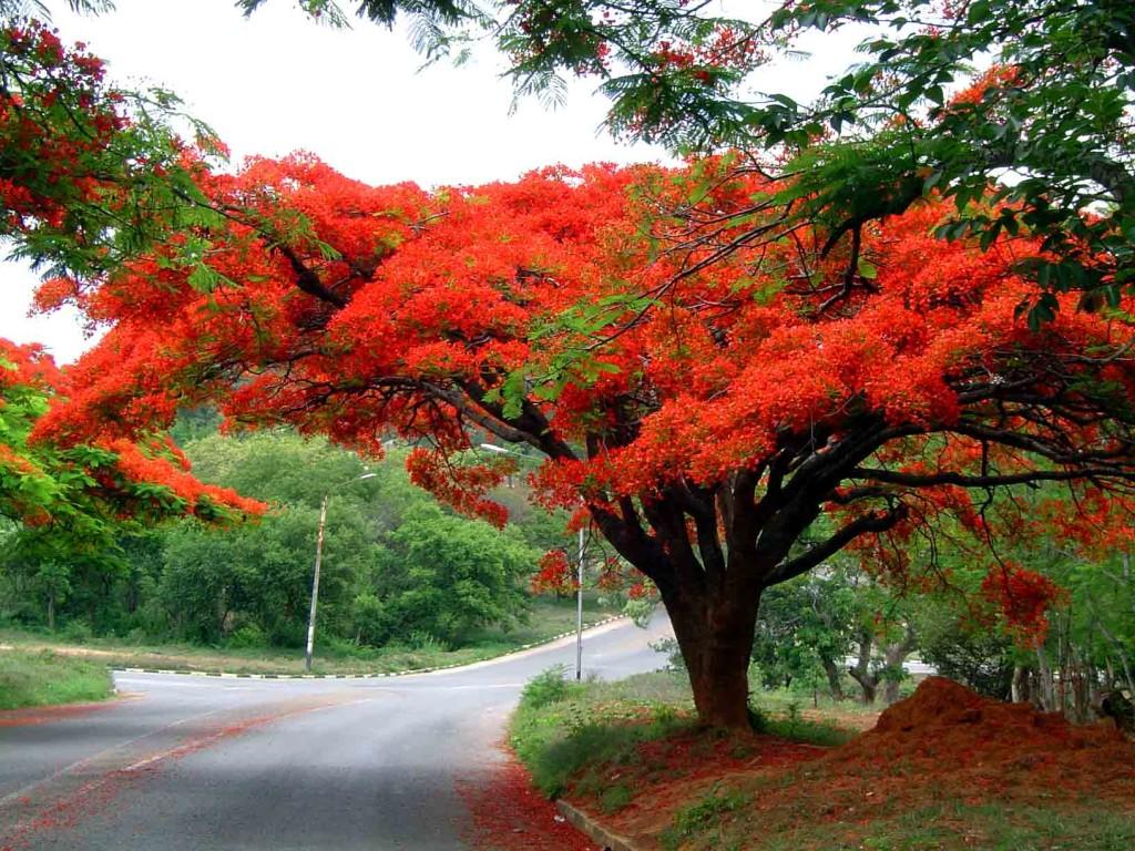 Hoklo flame tree