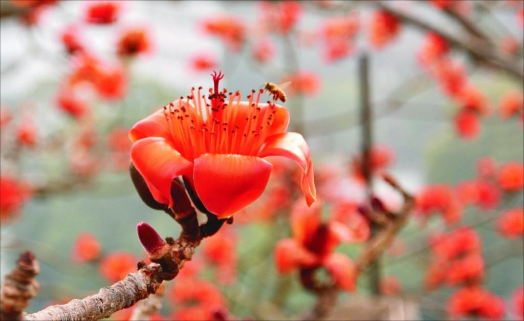 red cotton tree blossom